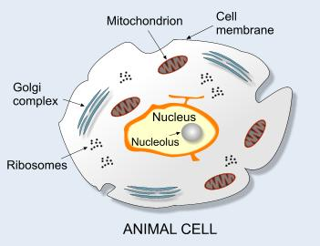 Image showing the composition of an animal cell